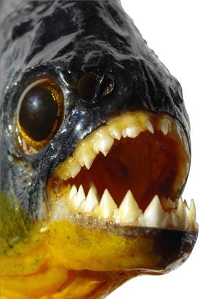 Brazilian black piranha normal